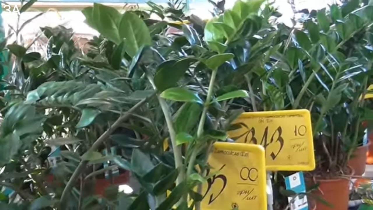 Растение замия уход в домашних условиях размножение как цветет и плодоносит замия