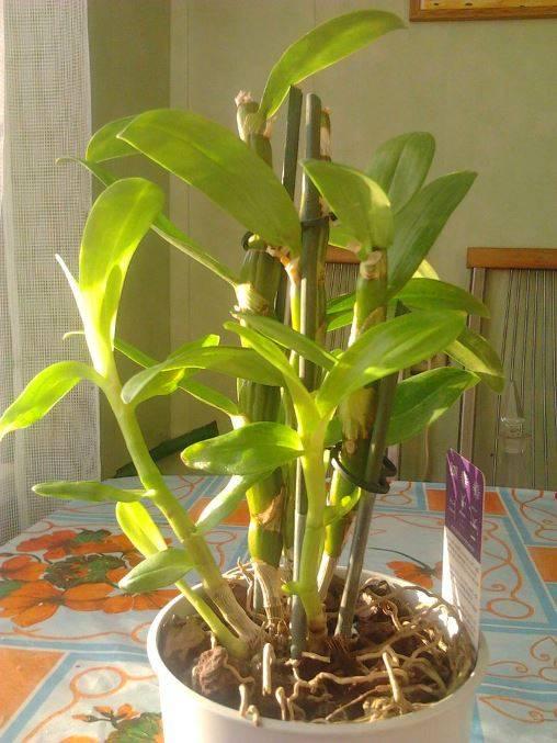Правильная пересадка орхидеи дендробиум и уход в домашних условиях