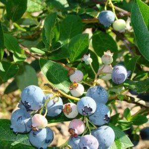 Секреты удачной посадки голубики: принципы посадки, уход за посаженными кустами