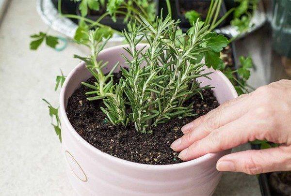Как вырастить розмарин в открытом грунте на даче — ценные и простые советы