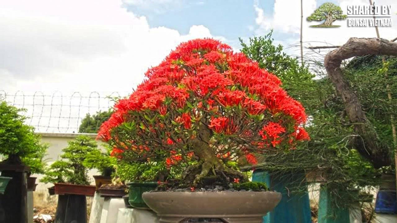 Иксора — огненный экзот с безупречными листьями