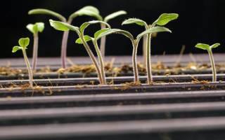 Безземельный способ выращивания рассады астры