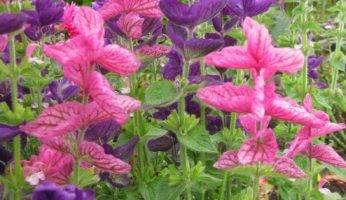 Яркая сальвия: посадите сейчас, чтобы наслаждаться цветами в начале лета!