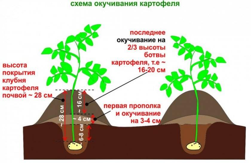 Сроки созревания картофеля и уборки урожая