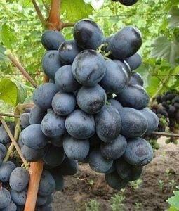 Виноград фуршетный описание сорта фото отзывы видео