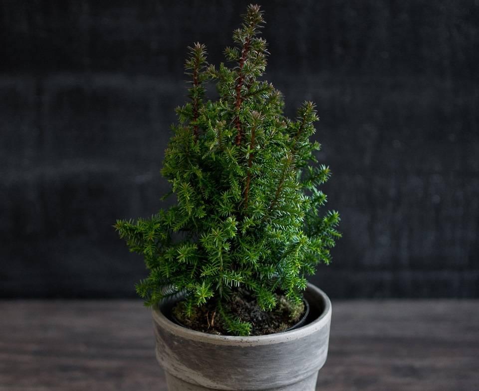 Как правильно выращивать кипарис в домашних условиях
