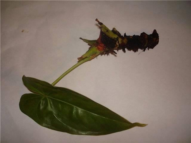Способы размножения домашнего цветка антуриума