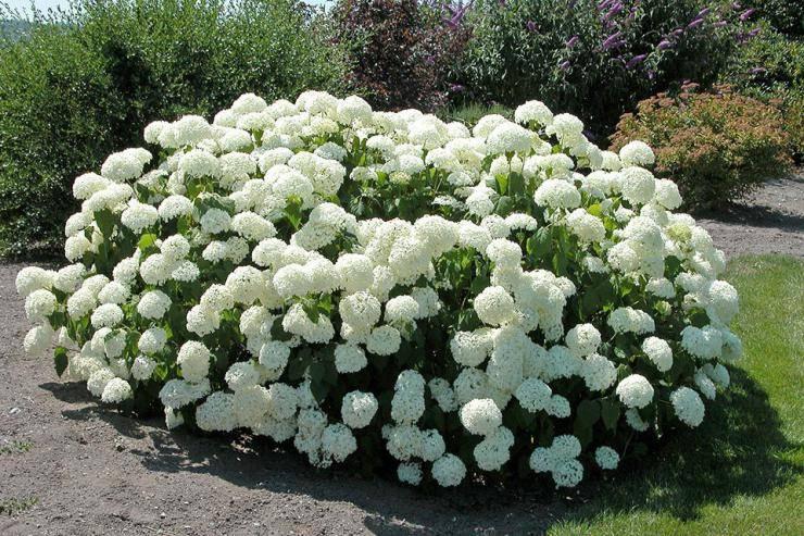Морозостойкие декоративные кустарники: виды и особенности