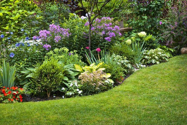 Чистецы в моей жизни и саду