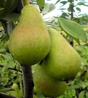 Высокая урожайность и зимостойкость «мемориального» сорта — груша памяти жегалова