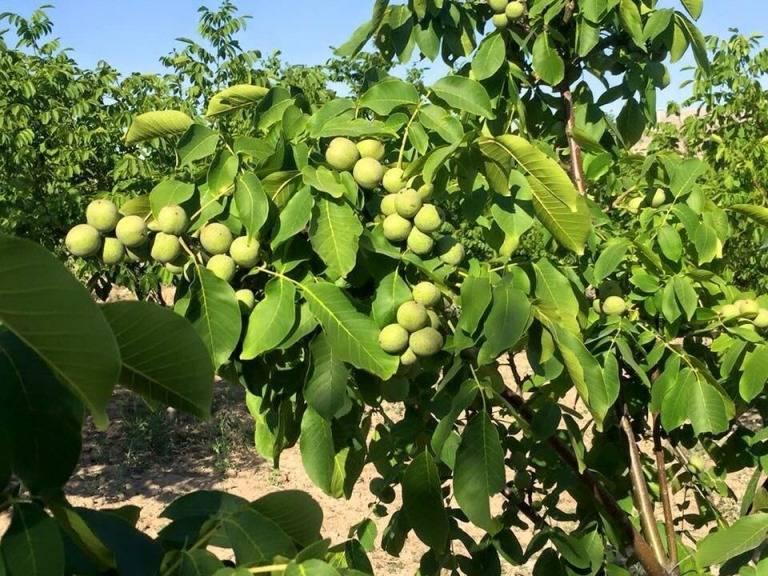 Что такое обрезка грецкого ореха и для чего нужна эта процедура: различные схемы обработки дерева