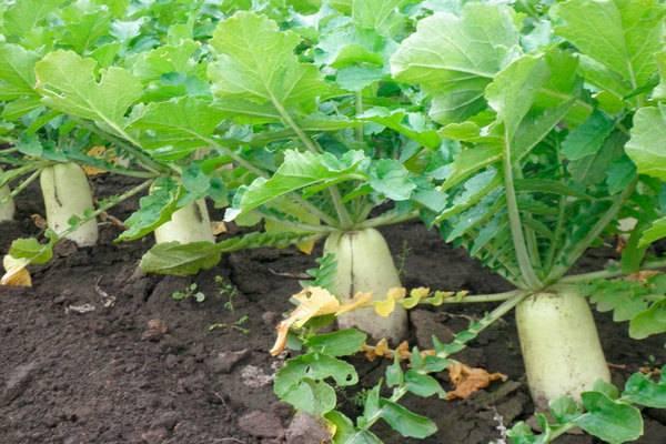 Выращиваем дайкон - посадка и уход, сроки посадки в открытый грунт