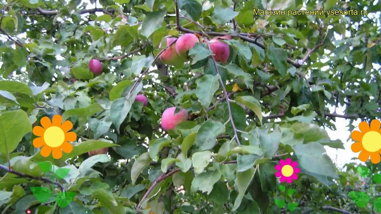 Яблоня — московская грушовка: описание, посадка, уход