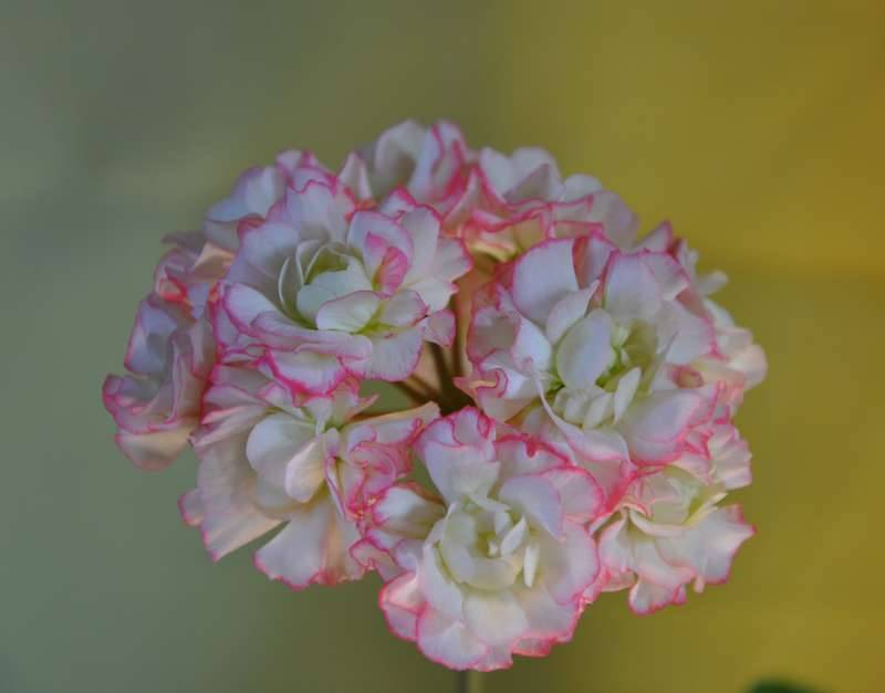 Все о пеларгонии зонартик от посадки до цветения: описание, выращивание дома, размножение и болезни