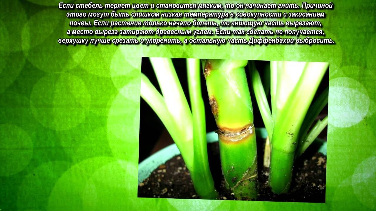 Диффенбахия: условия выращивания