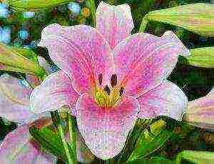 Секреты обильного цветения лилий