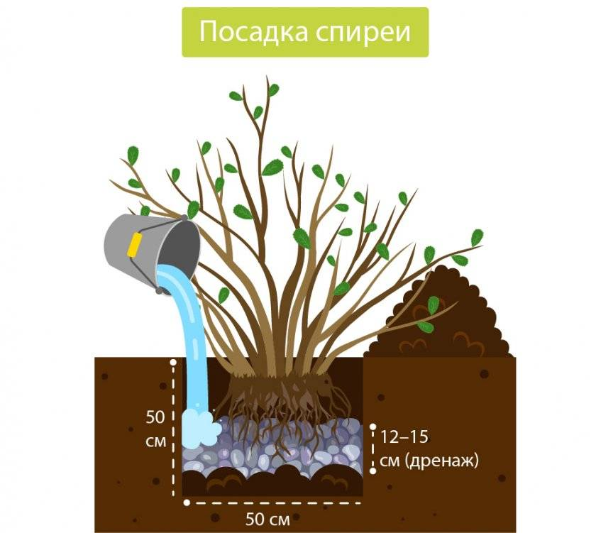 Спирея: особенности размножения черенками осенью в домашних условиях