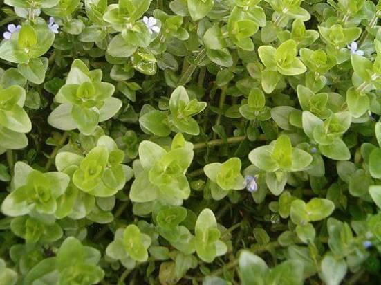Бакопа мадагаскарская – нужное и полезное растение для аквариума