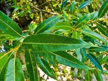 Полезные свойства листьев ивы