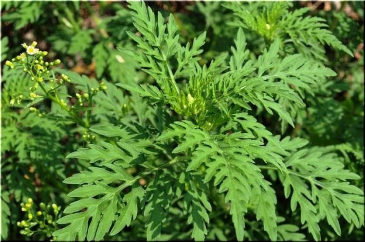 Аллергия на амброзию в летне-осенний период цветения