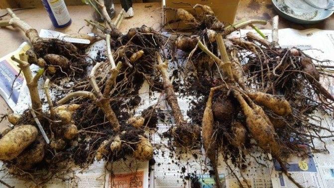Как хранить георгины зимой в домашних условиях