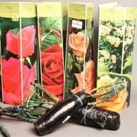 Посадка розы из коробки — как посадить купленные в магазине саженцы