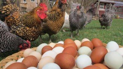 Почему куры клюют свои яйца и как их от этого отучить?