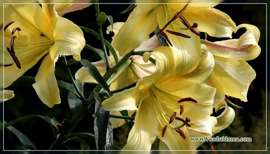 Подкормка лилий – выращиваем пышные цветы в саду