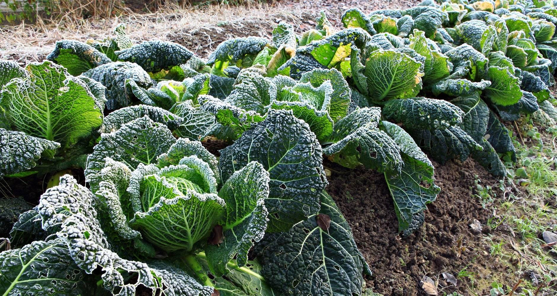 Савойская капуста — выращивание и уход