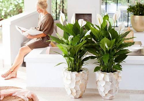 Спатифиллум: описание, выращивание и уход в домашних условиях