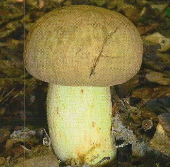 Съедобные виды белых грибов: их отличия и преимущества