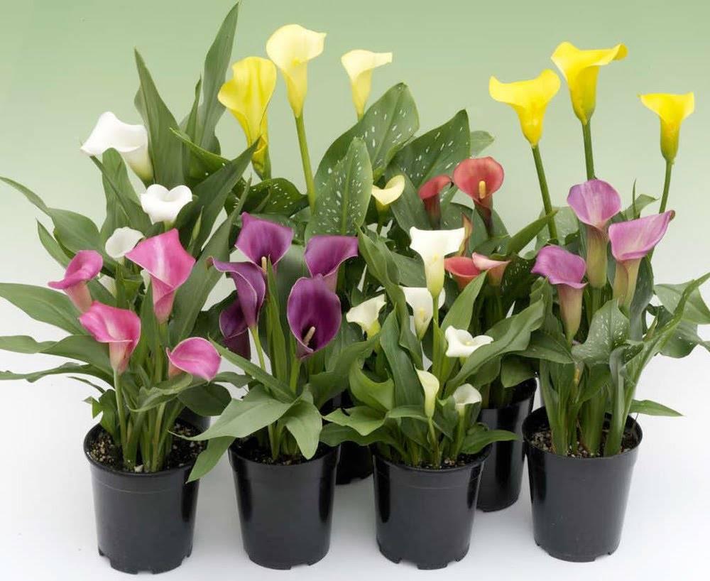 Калла (calla lily) — изящный цветок