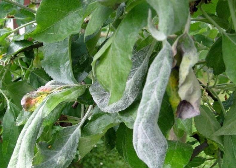 Что делать, если у яблони скручиваются листья