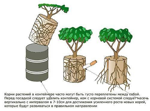 Самшит посадка и уход в открытом грунте размножение черенками как вырастить самшит