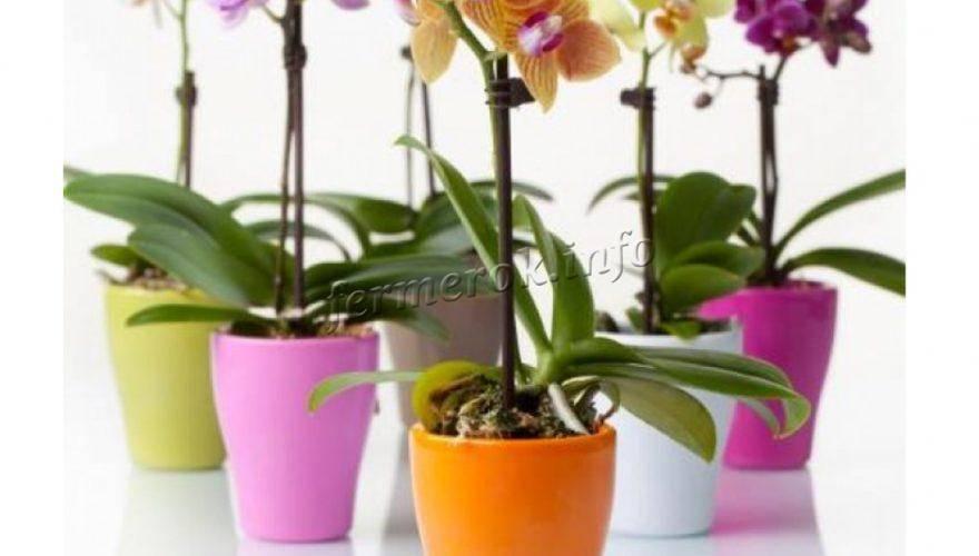 Узнайте, почему желтеет цветонос у орхидеи и что делать с ним дальше