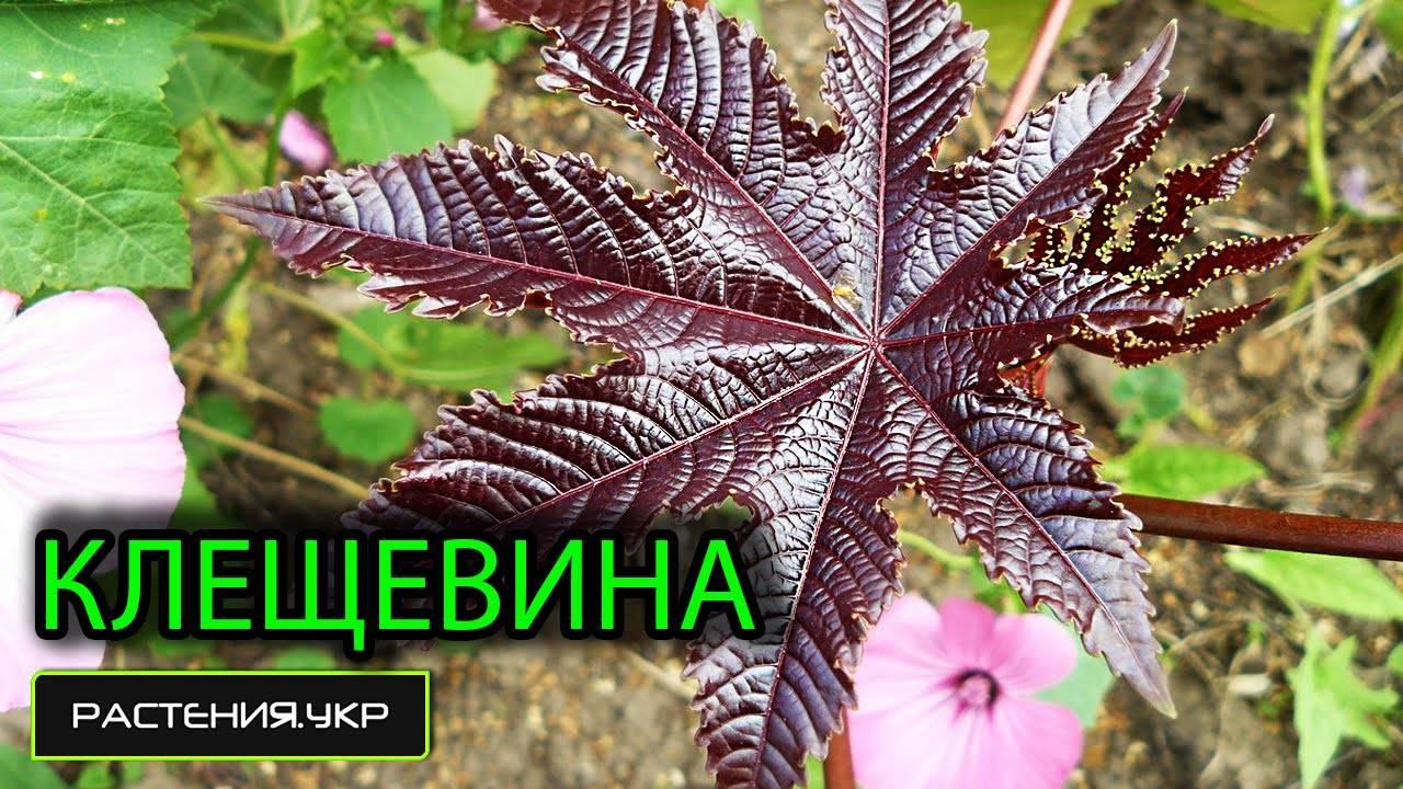 Особенности клещевины обыкновенной и разновидности растения