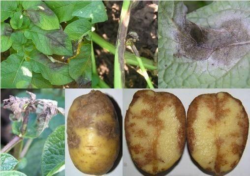 Распространенные болезни картофеля и эффективные методы борьбы с ними