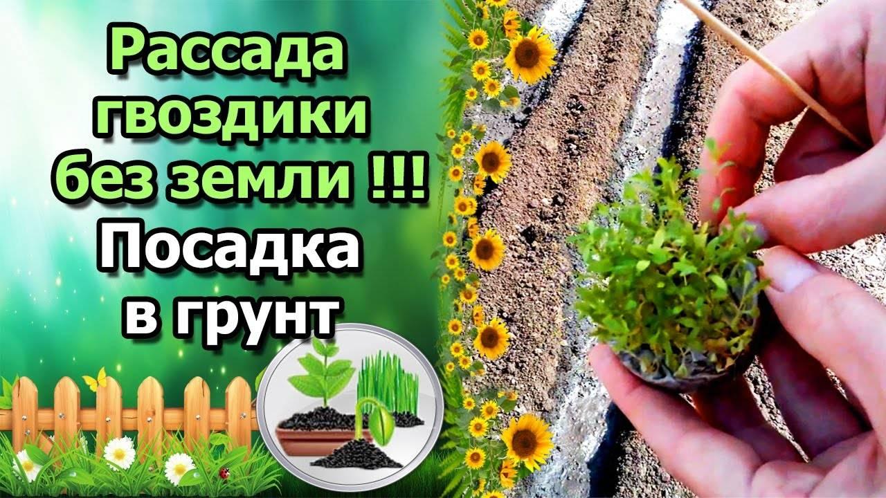Основные правила выращивания гвоздики из семян на рассаду: видео