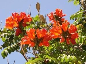 Особенности выращивания тюльпанового дерева дома. как посадить тюльпановое дерево тюльпановое дерево как сажать
