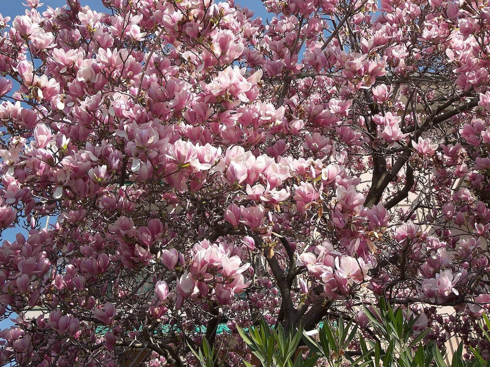 Уход за малиной весной: обрезка, подкормка, обработка