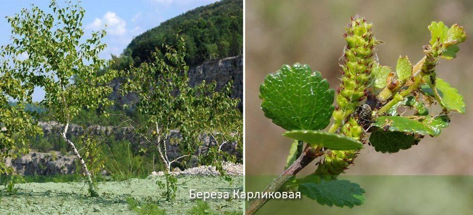 Божье дерево: описание растения, его лечебные известные свойства, противопоказания
