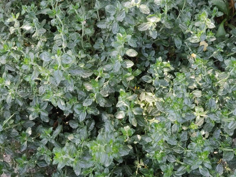 Бересклет — король осеннего сада