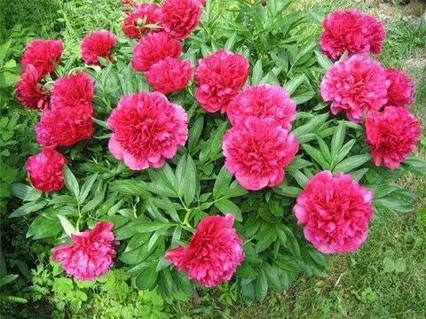Как уберечь пионы в саду от непогоды?