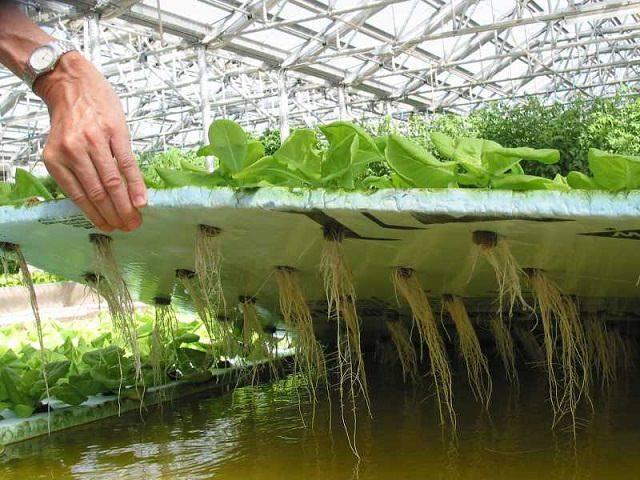 Выращивание огурцов на гидропонике может привлечь ваше внимание