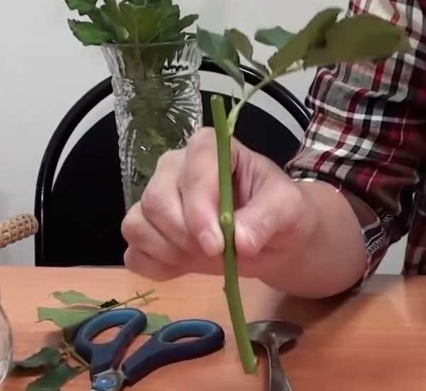 Размножение роз черенками из букета