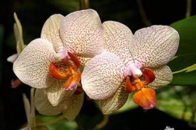 Садовые орхидеи: описание, посадка и уход в домашних условиях