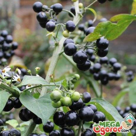 Обязательно посадите на даче полезную ягоду — санберри