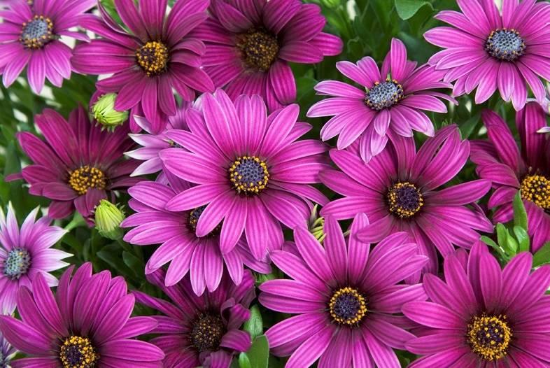 Цветок остеоспермум: посадка, выращивание и уход за растением