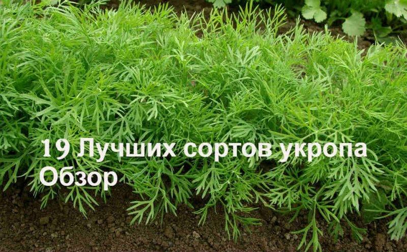Как правильно посадить укроп семенами весной в открытый грунт