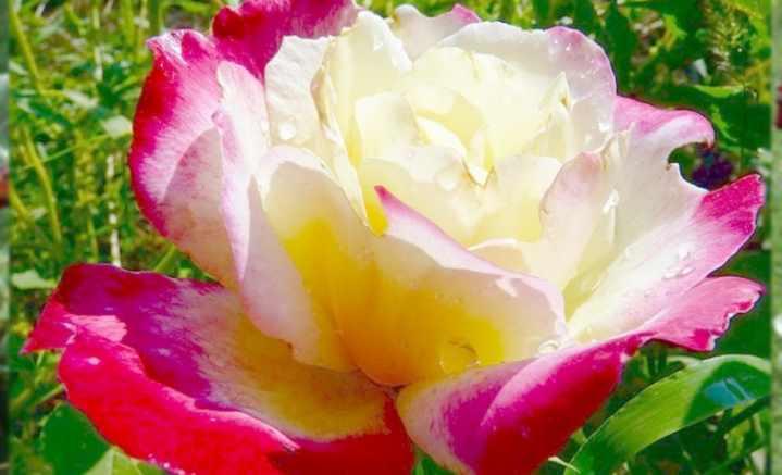 Фото и описание сорта розы дабл делайт. практические рекомендации по выращиванию и уходу за цветком